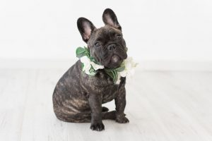 French Bulldog At A Wedding With Flower Collar